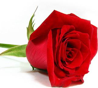 crvena ruza
